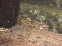 Juvenile Blackspot snapper swimming, Lutjanus fulviflamma, UP13485 Stock Footage