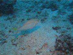 False stonefish swimming, Scorpaenopsis diabolus, UP1350 Stock Footage