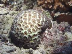 False stonefish swimming, Scorpaenopsis diabolus, UP1351 Stock Footage