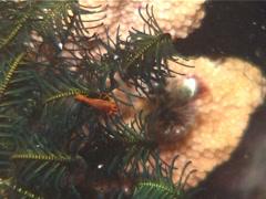 Orange crinoid shrimp walking at night, Periclimenes commensalis, UP13588 Stock Footage