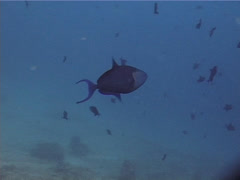 Red tooth triggerfish swimming and schooling, Odonus niger, UP13596 Stock Footage