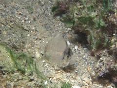 Larval Sailfin tang swimming at night, Zebrasoma velifer, UP13624 - stock footage