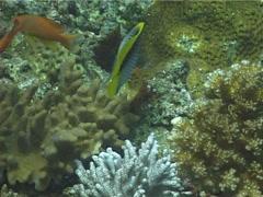 Ghost coral retracting, Cladiella sp. Video 13641. Stock Footage