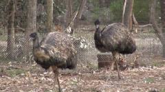 Two Emus walking toward camera Stock Footage