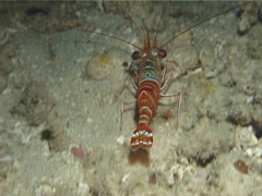 Striped hingebeak shrimp running at night, Rhynchocinetes striatus, UP13653 Stock Footage