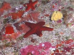 Porous sea star, Fromia milleporella, UP13680 Stock Footage