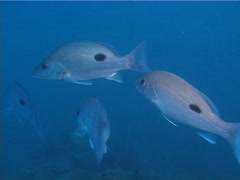 Moses perch swimming and schooling, Lutjanus russellii, UP13750 Stock Footage