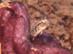 Xestus sabretooth blenny hiding, Petroscirtes xestus, UP13776 Stock Footage