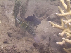Brown-barred goby hovering, Amblygobius phalaena, UP13787 Stock Footage