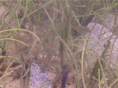 Juvenile Scribbled rabbitfish feeding and schooling, Siganus spinus, UP13798 Stock Footage