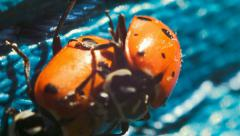 The ladybug life cycle, ladybugs mating Stock Footage