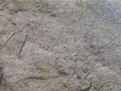 Knife razorfish swimming, Cymolutes praetextatus, UP13813 Stock Footage