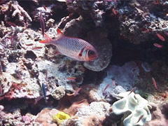 Violet soldierfish hovering, Myripristis violacea, UP1383 Stock Footage