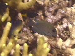Juvenile Striped bristletooth swimming, Ctenochaetus striatus, UP13838 Stock Footage