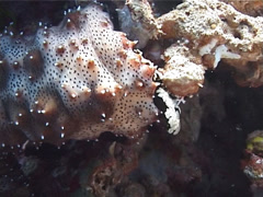 Black tentacle sea cucumber feeding, Bohadschia graeffei, UP1384 Stock Footage