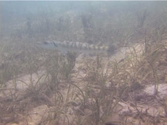 Great barracuda swimming, Sphyraena barracuda, UP13855 Stock Footage
