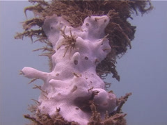 White encrusting ascidian, Didemnum sp. Video 13888. Stock Footage