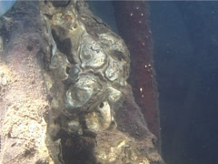 Mangrove oysters, Alectryonella sp. Video 13898. Stock Footage