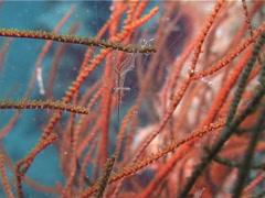 Black coral shrimp walking, Periclimenes psamathe, UP13899 Stock Footage
