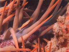 Starfish shrimp walking at dusk, Periclimenes soror, UP13901 Stock Footage