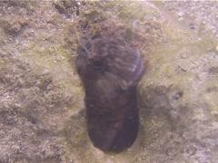 Chesnut blenny hiding, Cirripectes castaneus, UP13910 Stock Footage
