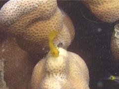 Juvenile Brown coral blenny feeding, Atrosalarias fuscus, UP13911 Stock Footage