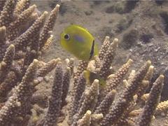 Juvenile Bluespot butterflyfish feeding, Chaetodon plebeius, UP13951 Stock Footage