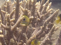 Juvenile Bennett's butterflyfish swimming, Chaetodon bennetti, UP13952 Stock Footage