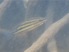 Juvenile Moses perch swimming, Lutjanus russellii, UP13957 Stock Footage