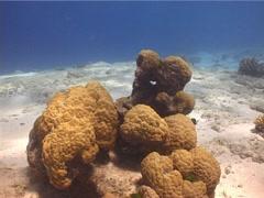 Palette surgeonfish swimming, Paracanthurus hepatus, UP13995 Stock Footage