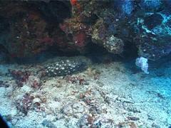 White-spotted grouper, Epinephelus coeruleopunctatus, UP1400 Stock Footage