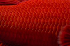 Close-up on a fish skin - blue siamese fighting fish Stock Photos