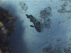 Camouflage grouper swimming, Epinephelus polyphekadion, UP14023 Stock Footage