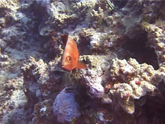 Crescent-tail bigeye hovering, Priacanthus hamrur, UP14029 Stock Footage