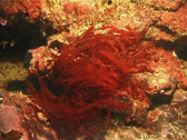 Stock Video Footage of Seaweed | Red Algae | Red Algae | Swaying | Medium Shot