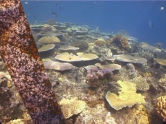 Flower coral feeding, Xenia sp. Video 1404. Stock Footage