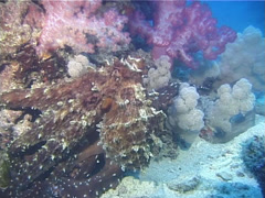 Common reef octopus courting, Octopus cyanea, UP14067 Stock Footage
