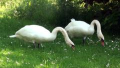 Two swans on a meadow - stock footage