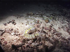 Feathermouth sea cucumber feeding at night, Euapta godeffroyi, UP1419 Stock Footage