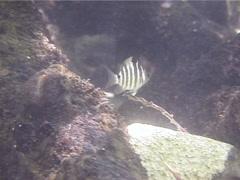 Juvenile Blackspot sergeant swimming, Abudefduf sordidus, UP14190 Stock Footage