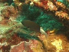 Bicolor chromis feeding, Chromis margaritifer, UP14196 Stock Footage