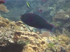 Male adult Swarthy parrotfish swimming, Scarus niger, UP14239 Stock Footage