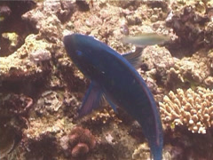Steephead parrotfish feeding, Chlorurus microrhinos, UP14241 Stock Footage