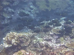 Orange-socket surgeonfish swimming and schooling, Acanthurus auranticavus, Stock Footage