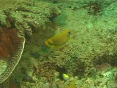 Juvenile Mimic surgeonfish swimming, Acanthurus pyroferus, UP14245 Stock Footage