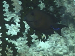 Steephead parrotfish sleeping at night, Chlorurus microrhinos, UP1425 Stock Footage