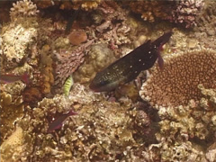 Camouflage grouper, Epinephelus polyphekadion, UP1437 Stock Footage