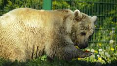 Arctic bear eating an apple Stock Footage