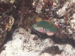 Exquisite wrasse hovering, Cirrhilabrus exquisitus, UP14397 Stock Footage