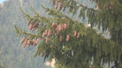 Stock Video Footage of Cones on branch